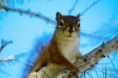 160921-01 cureuil (clamato39) Tags: cureuil cureuilroux squirrel basepleinairdestefoy villedequbec provincedequbec qubec canada animal wild nature ffa