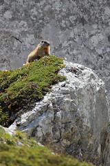 Woodchuck lookout - Marmotta di vedetta (Nicola Franzoso Naio) Tags: northitaly rock wild canon55250mm canon550d marmotta animali natura montagna nature woodchuck lookout