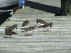 """""""Ruddy Turnstones (Arenaria interpres)"""" sleeping and yawning safely on the jetty.... early morning.... (Sue - happy sparrow) Tags: cowes jetty marina birds seabirds wadingbirds sleep yawn boats yachts cleat morning barnacles ruddyturnstones"""