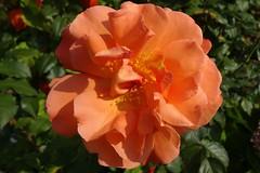 Rose (Gartenzauber) Tags: masterphotos