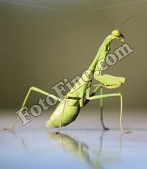 Praying Mantis (lorenagonazalez) Tags: insect insects praying mantis prayingmantis bug bugs
