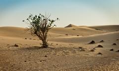 Dubai desert (Tigra K) Tags: dubai unitedarabemirates ae 2013 color landscape nature plant