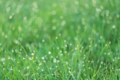 Countless Dewdrops Glowing in Soft Light (danliecheng) Tags: background circles countless dew dewdrops dots field glowing grasses green light many meadow morning nature shining spots waterdrops