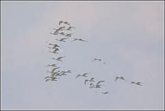 Lepelaar (pietplaat) Tags: pietplaat vogels scheveningenhavenhoofd lepelaar