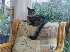 Mara ! (Mara 1) Tags: cat kitten pet animal tabby stripes black grey fawn coat fur pink bell collar window indoors chair door handle