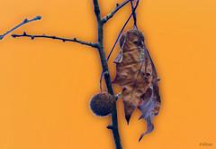 El ltimo mohicano (Franco DAlbao) Tags: francodalbao dalbao lumix hoja leaf otoo autumn rbol tree amarillo yellow muerte death