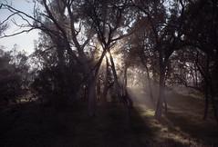 Hall ACT, 2016 (jamiehladky) Tags: hall act canberra portra160 film mediumformat jamiehladky hladky 120 6x9 gw690 gw690iii sunrise sun dawn forest trees eucalyptus eucalypt australia landscape portra rays mist fog