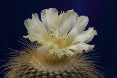 2016-10-10-cactus bloom (tobyjug5) Tags: plant cacti flower yellow spines tripod cablerelease softbox diffusedlight