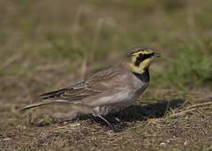 Shorelark (Steve Ashton Wildlife Images) Tags: shorelark horned lark hornedlark sandwich bay kent