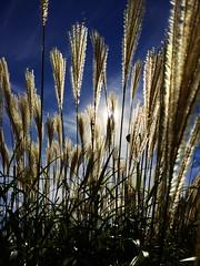 (rafalweb (moved)) Tags: sunlight sky plants capturedlight iphone backlighting