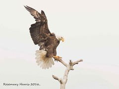 The Eagle Has Landed (rosemaryharrisnaturephotography) Tags: baldeagle adultbaldeagle eagle florida rosemaryharris sky nature wildlife raptor perch snag landing flight coth ngc npc