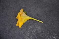Das Ende ist noch nicht das Ende - abgefallene Solandra Blte in Puerto de la Cruz; Teneriffa (Chironius) Tags: spanien teneriffa asterids campanuliids solanales nachtschattenartige solanaceae nachtschattengewchse gelb blte blossom flower fleur flor fiore blten   spain  espaa tenerife puertodelacruz