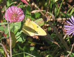 Clouded Sulphur Butterfly on Clover (mineral2150) Tags: butterfly clouded sulphur