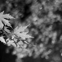 Early Autumn 2 (Andrew Malbon) Tags: autumn autumncolour fall seasons leaves deadleaves wideangle wideopen victoriapark victorian listed 35mmf14 summilux square leica leicam9 m9 rangefinder closefocus portsmouth bokeh depthoffield shortdepthoffield blackwhite monochrome mono bw