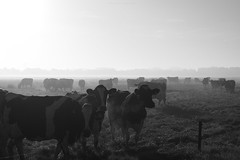 (esmeecadoni) Tags: europe netherlands beautifulearth sky sony sunlight outdoor simple simplicity minimal minimalistic light littlethings mist holland morning photography fog fall drenthe autumn animal animals nature cows blackandwhite
