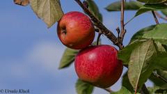 Obst ist gesund (Oerliuschi) Tags: obst apfel apple fruit nahaufnahme schrfentiefe heliconfocus stacking lumixgx8 leicatele100400 panasonic obstbaum baum blauerhimmel sky