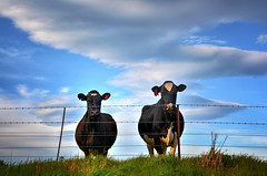 Two Pretty Milkmaids (Kevin_Jeffries) Tags: cow blue farm bluesky nikon nikkor d7100 animal cloud sky rural milkmaids bovine comical humour dairy new nature cute newzealand