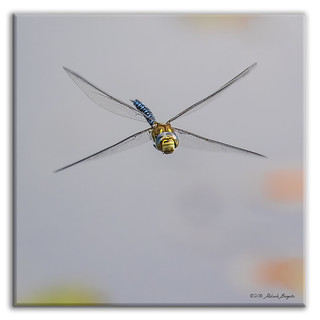 Full in the Face - dragonfly in flight [Explored]