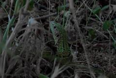 {Lacerta viridis} Female (Cazadora de Fotos) Tags: lacerta viridis female lagarto verde lizard
