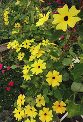 Black-eyed Susan (inaaudette) Tags: plant basket susan may vine greenhouse begonia blackeyed slower trailing thumbersia