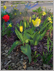 Spring Sprang Sprung (Tim Noonan) Tags: street flowers colour texture grass composition digital photoshop garden leaf spring tulips twig legacy shining daffodils tistheseason vividimagination artdigital greenscene shockofthenew sharingart awardtree maxfudgeawardandexcellencegroup magiktroll exoticimage admintalkinternational netartii donnasmagicalpix digitalartscenepro