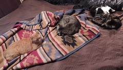 All my children -- on a warm waterbed (Hairlover) Tags: old sleeping pet cats pets cat ginger kitten tabby kitty kittens sleepingcat kitties aged kittys gingercat oldcat multiplecats waterbed threeleggedcat agedcats agedcat snuggies 24yearold catcatskittykitties