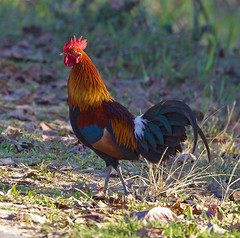 Red Junglefowl,    male,   Gallus gallus murghi (Graham Ekins) Tags: india male bird wildlife assam cockerel resident gallusgallus redjunglefowl passerine isaf arunachalpradesh kaziranganationalpark canon400mmf4 canon1dmkiv grahamekins gallusgallusmurghi eaglenestnationalpark ah9k1009