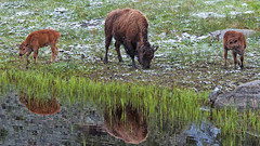 Tres Tatanka (dbushue) Tags: reflections pond buffalo nikon wildlife valley yellowstonenationalpark wyoming reddog bison 2012 ynp calves specanimal damniwishidtakenthat dailynaturetnc13 photoofthedaynwf13