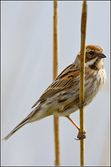 Reed Bunting (Linton Snapper) Tags: bird birds canon suffolk lackfordlakes reedbunting suffolkwildlifetrust lintonsnapper