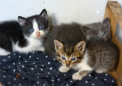 The trio (annfrau) Tags: three kittens tiny trio tre gattini piccoli micini meooow minuscoli