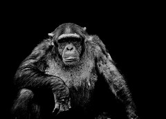 Chimpanzee, ZSL Whipsnade Zoo, England, UK (Silva03) Tags: portrait england blackandwhite white black nature animal animals canon eos zoo wildlife bedfordshire 7d chimpanzee whipsnade zsl