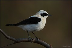 Chasco-ruivo,Black-eared Wheatear (Oenanthe hispanica) (Jos Diogo 58) Tags: