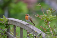 Robin (Erithacus rubecula) (DavLovett17) Tags: bird nature robin sheffield