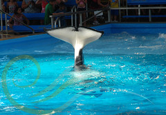 Tuar (GypsySkye7) Tags: sanantonio believe orca seaworld shamu killerwhale captivity tuar