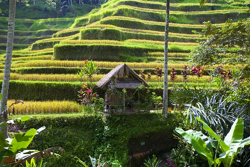 Rice terraces #4