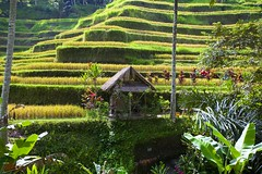 Rice terraces #4 (Ausamah) Tags: old travel sky bali woman man reflection green art love water girl beautiful field indonesia temple photography bahrain paradise child gulf rice julia farmers terrace farm pray grow scene arabic eat national arab roberts arabian agriculture hindu indonesian geographic peasant balinese ausamah alabsi