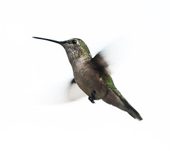 Broad-tailed Hummingbird (Selasphorus platycercus); Santa Fe National Forest, NM, Thompson Ridge [Lou Feltz] (deserttoad) Tags: mountain newmexico bird nature hummingbird desert wildlife flight wildbird