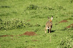 On A Mission (Derbyshire Harrier) Tags: spring derbyshire peakdistrict dew limestone cropped whitepeak brownhare 2013