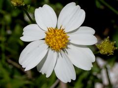 Naturaleza (Xixim, Celestn, Yucatn, Mxico) Tags: flores mexico flora flor yucatan celestn rivieramaya descanso ecoturismo estilodevida hotelecolgico hotelxixim