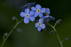 0992 (P. Koskela) Tags: summer plant flower macro nature closeup finland droplets bokeh midnight raindrops forgetmenot lemmikki frgtmigejslktet