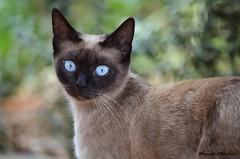 Ojos azules (Mamen Montero| MioFoto) Tags: fauna gatos animales mascotas