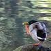 Funny birds 1 - Scratching duck