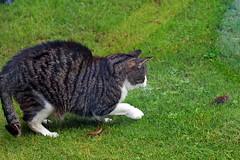 IMG_2981 (d_fust) Tags: fust katze pauline maus jagd cat