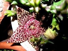 Orbea variegata (franco borghero filippini) Tags: piantegrasse orbeavariegata canons90