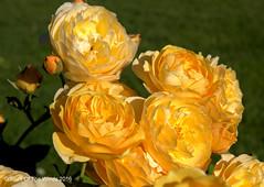 They Are Yellar (jimgspokane) Tags: roses flowers manitopark duncangarden rosehill spokanewashingtonstate otw nikonflickraward
