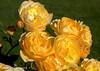 "They Are Yellar (jimgspokane) Tags: roses flowers manitopark duncangarden rosehill spokanewashingtonstate otw ""nikonflickraward"""