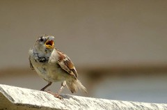 Oi over ere (samm.doyle) Tags: sparrow sparrows singing bird small feathers beak garden warsash hampsire