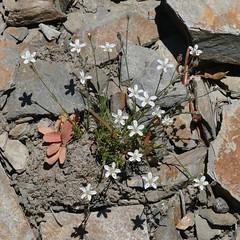Arenaria kingii, KING'S SANDWORT (openspacer) Tags: inyocounty inyonationalforest