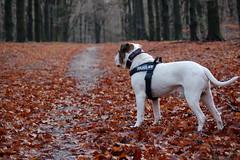 Autumn (alokD7200) Tags: american americanbulldog bulldog bully autumn leaves red herfst woods bos dog juliusk9 k9 shetanbulls shetanbullsdashtwo nederland amerikaansebulldog lovemydog happydog chien perro hund huisdier pet animal dier blad autumnleaves forest nikon d50