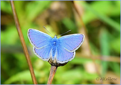 Adonis Blue (Doe15) Tags: scilly